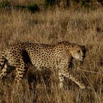 Cheetah on the hunt. Photo Credit: Conny Damm