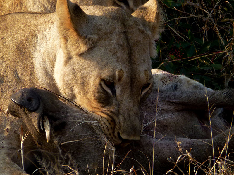 Lioness catching Warthog. Photo Credit: Conny Damm