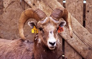 This 6-yr-old ram is not legal. Photo Credit: Marco Festa-Bianchet