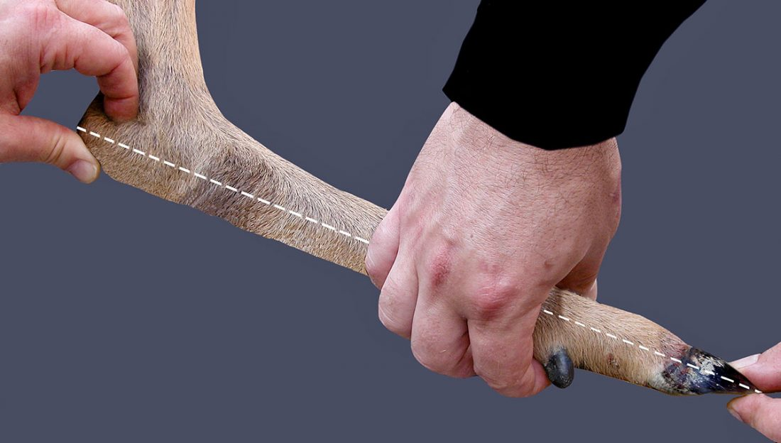 April-2019-Mattioli---Hind-leg-length-(De-Marinis)