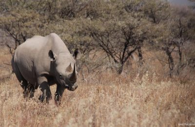 How hunting black rhino contributes  to conservation in Namibia