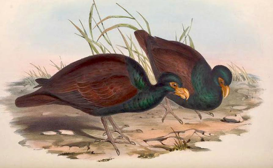 Manumea by John Gould - The Birds of Australia, Vol. V Plate 76. London, 1848.