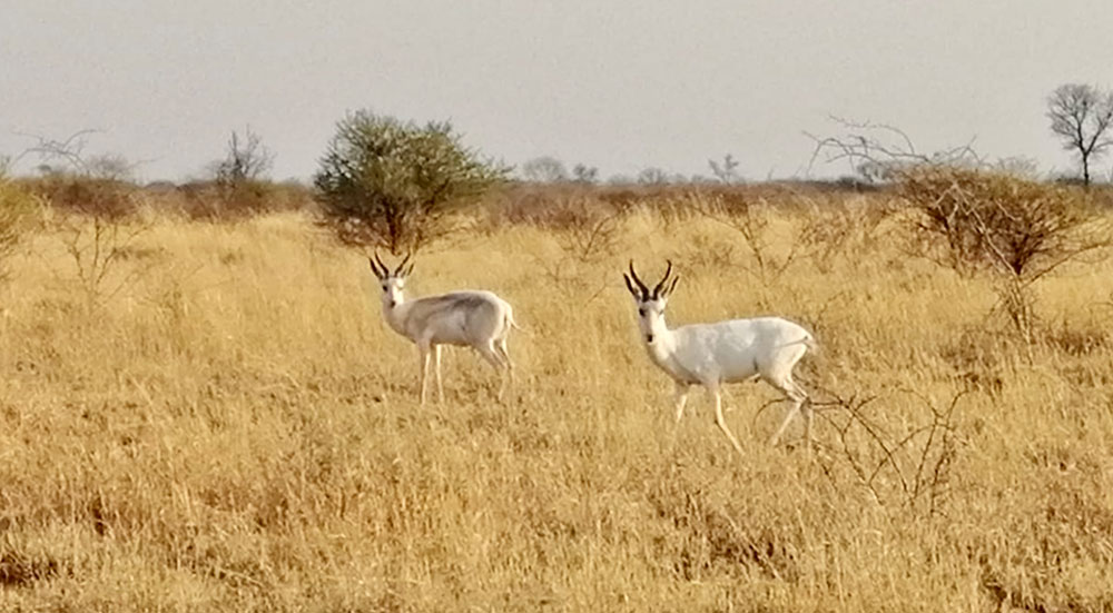 A Springbok which is White, People Do Not Kill It'