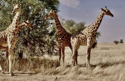 The Disappearing Giraffe–They were right there and then . . . they weren't